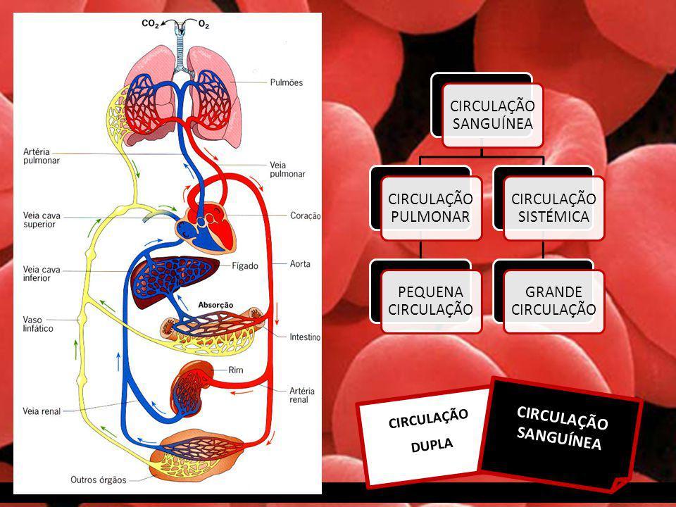 CIRCULAÇÃO DUPLA CIRCULAÇÃO SANGUÍNEA CIRCULAÇÃO PULMONAR PEQUENA CIRCULAÇÃO CIRCULAÇÃO SISTÉMICA GRANDE CIRCULAÇÃO