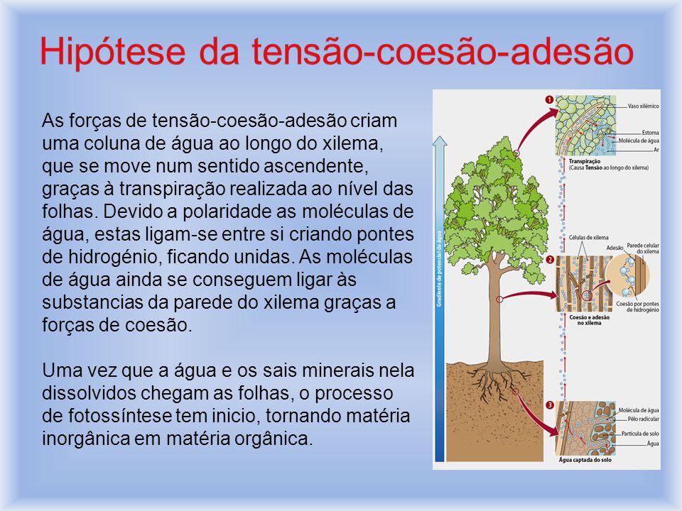 As forças de tensão-coesão-adesão criam uma coluna de água ao longo do xilema, que se move num sentido ascendente, graças à transpiração realizada ao nível das folhas.