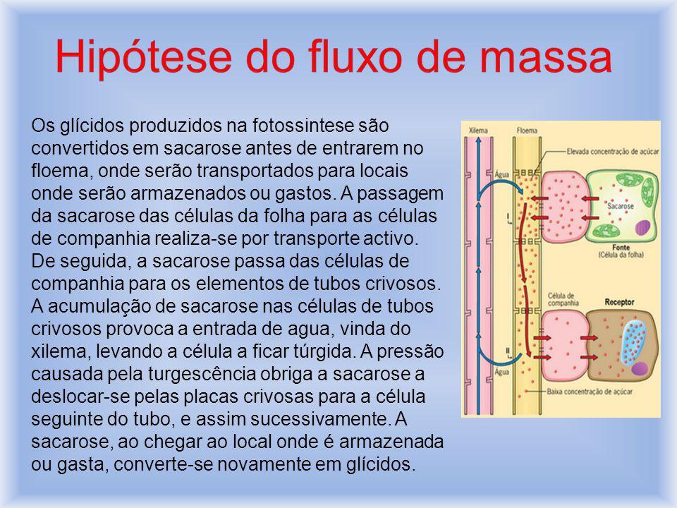 Os glícidos produzidos na fotossintese são convertidos em sacarose antes de entrarem no floema, onde serão transportados para locais onde serão armazenados ou gastos.