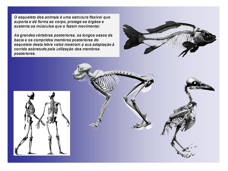O esqueleto dos animais é uma estrutura flexível que suporta e dá forma ao corpo, protege os órgãos e sustenta os músculos que o fazem movimentar. As
