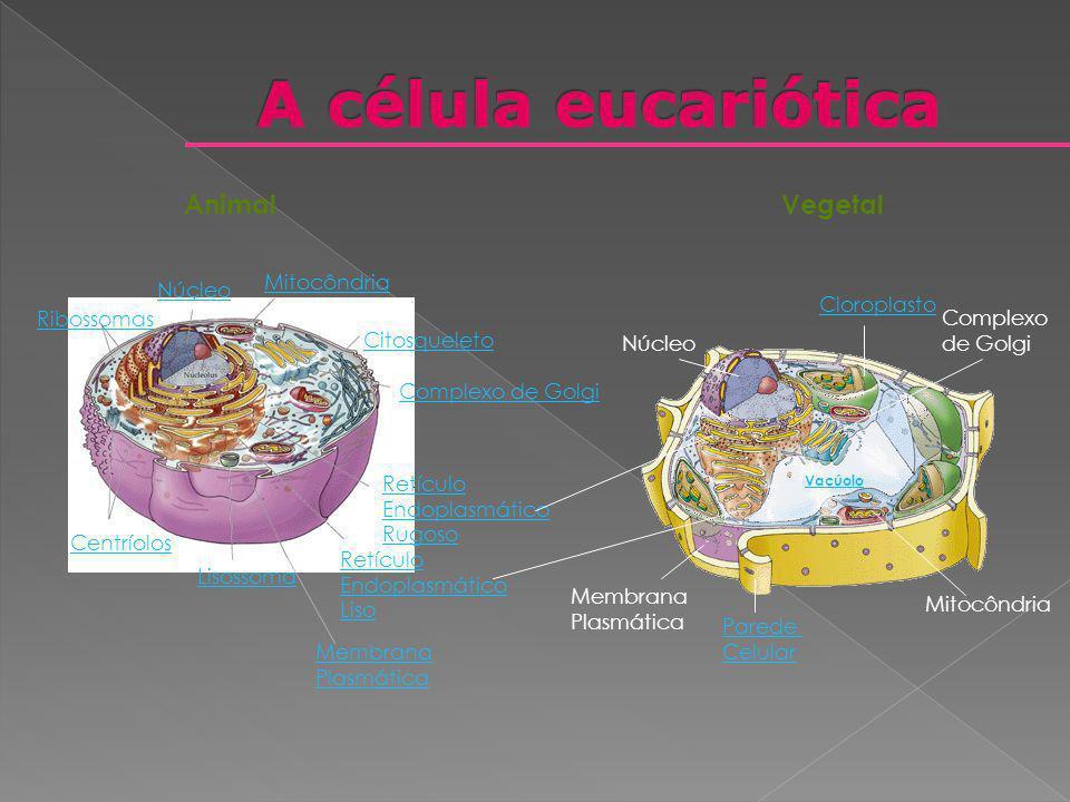AnimalVegetal Núcleo Ribossomas Mitocôndria Retículo Endoplasmático Rugoso Lisossoma Centríolos Retículo Endoplasmático Liso Membrana Plasmática Citos