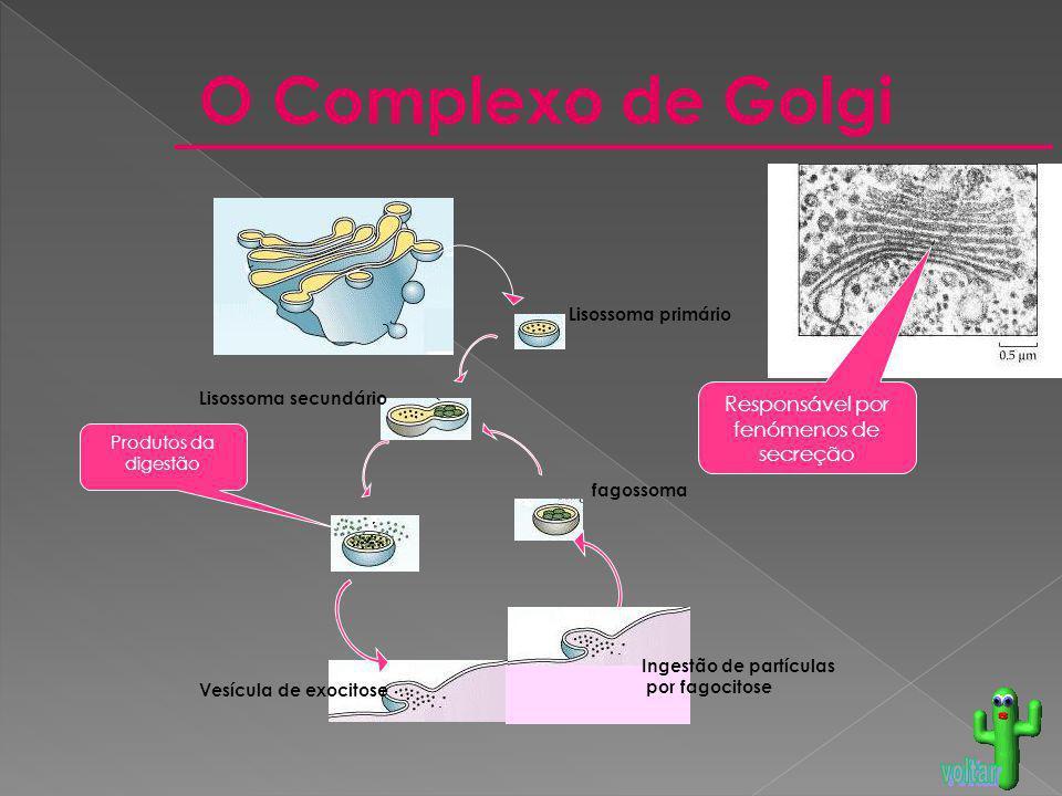 O Complexo de Golgi Responsável por fenómenos de secreção Produtos da digestão Lisossoma secundário Lisossoma primário fagossoma Vesícula de exocitose