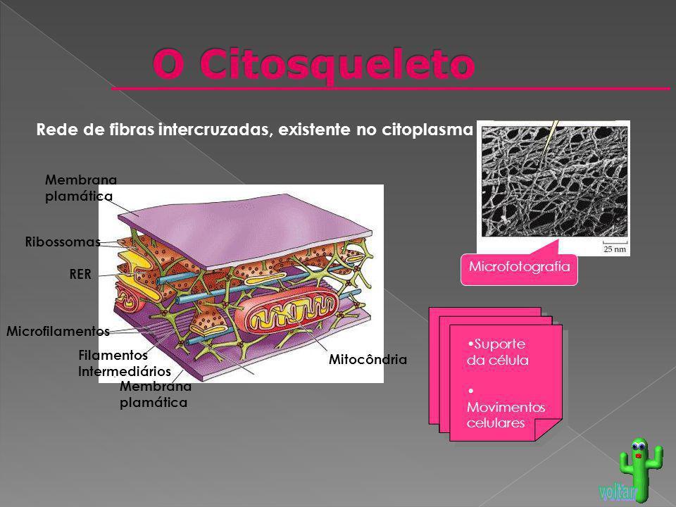 Mitocôndria Microfilamentos Microtúbulo Filamentos Intermediários RER Ribossomas Membrana plamática Membrana plamática Microfotografia Suporte da célu
