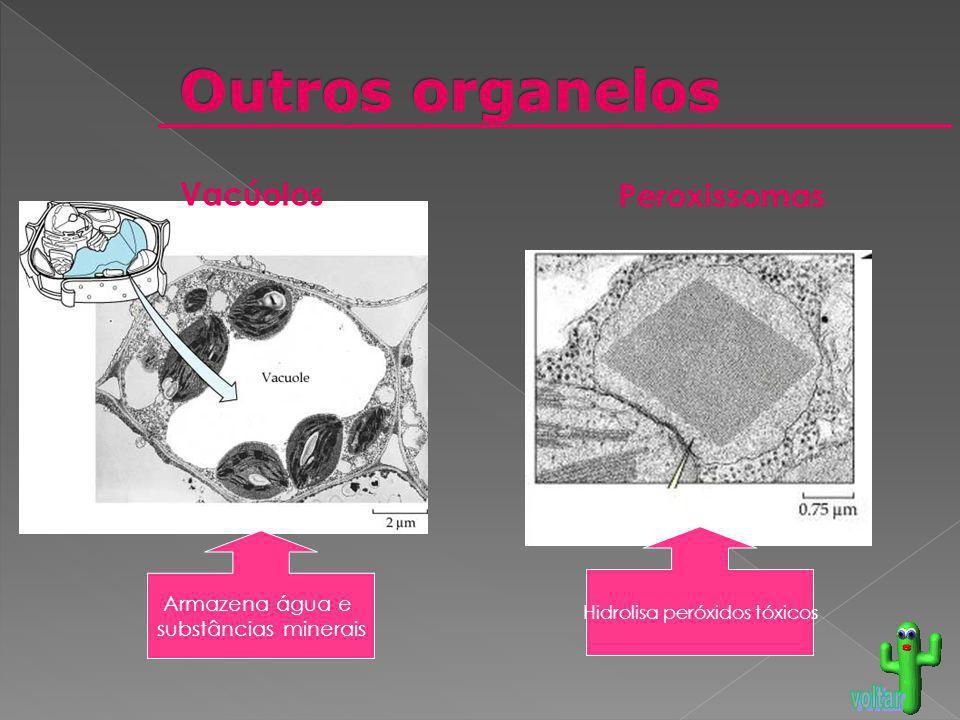 Peroxissomas Vacúolos Armazena água e substâncias minerais Hidrolisa peróxidos tóxicos