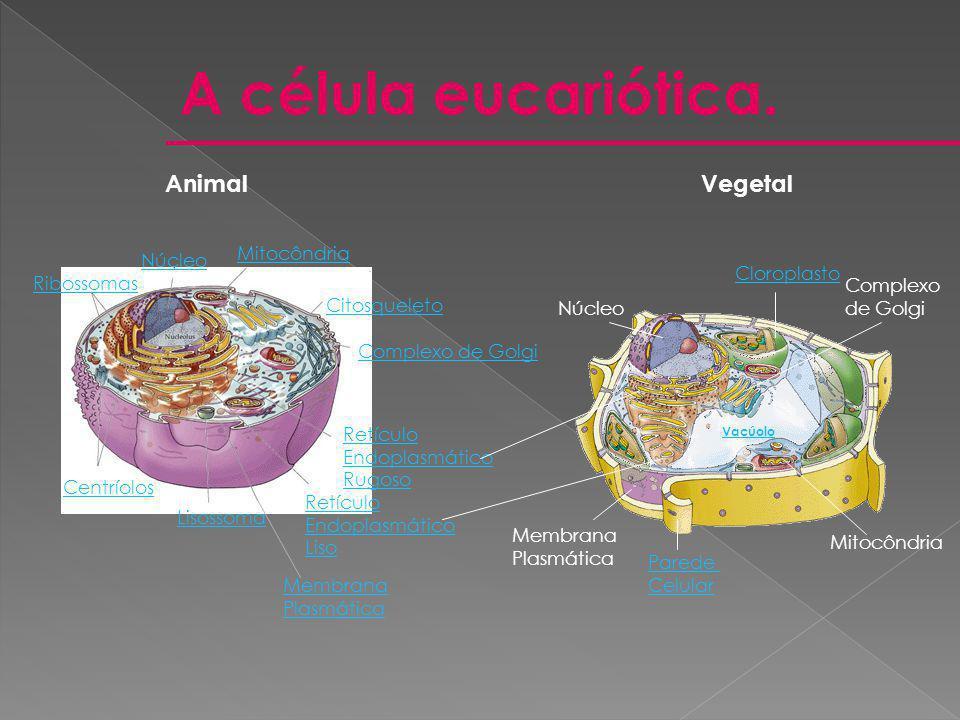 A célula eucariótica. AnimalVegetal Núcleo Ribossomas Mitocôndria Retículo Endoplasmático Rugoso Lisossoma Centríolos Retículo Endoplasmático Liso Mem