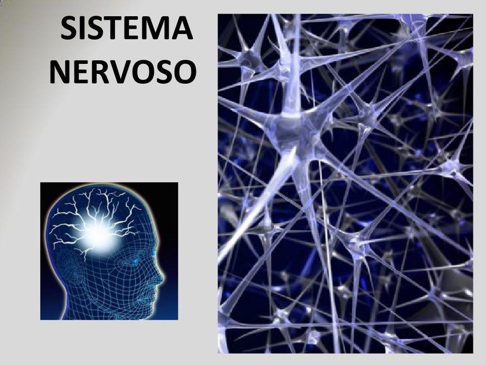 Sempre vivo com eletricidade, o SN é a principal rede de comunicação e coordenação do corpo.