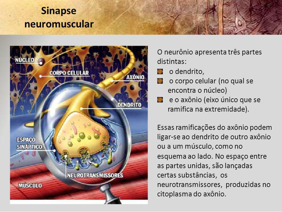 Sinapse neuromuscular O neurônio apresenta três partes distintas: o dendrito, o corpo celular (no qual se encontra o núcleo) e o axônio (eixo único qu