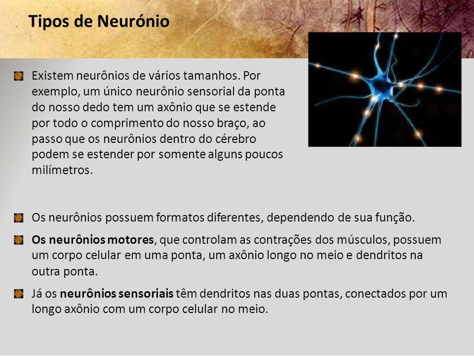 Tipos de Neurónio Existem neurônios de vários tamanhos. Por exemplo, um único neurônio sensorial da ponta do nosso dedo tem um axônio que se estende p