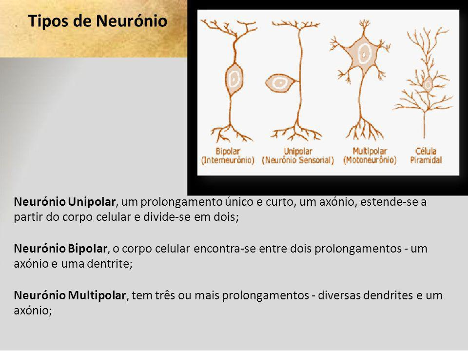 Tipos de Neurónio Neurónio Unipolar, um prolongamento único e curto, um axónio, estende-se a partir do corpo celular e divide-se em dois; Neurónio Bip