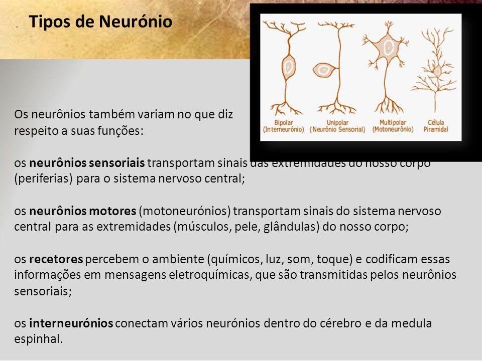 Tipos de Neurónio Os neurônios também variam no que diz respeito a suas funções: os neurônios sensoriais transportam sinais das extremidades do nosso
