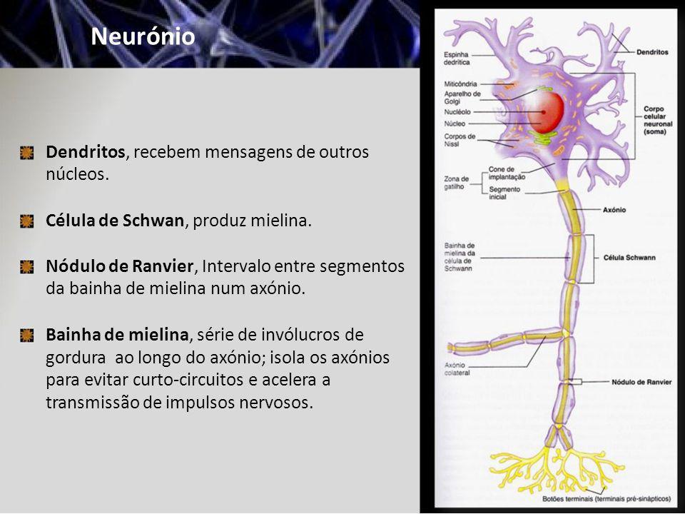 Neurónio Dendritos, recebem mensagens de outros núcleos. Célula de Schwan, produz mielina. Nódulo de Ranvier, Intervalo entre segmentos da bainha de m