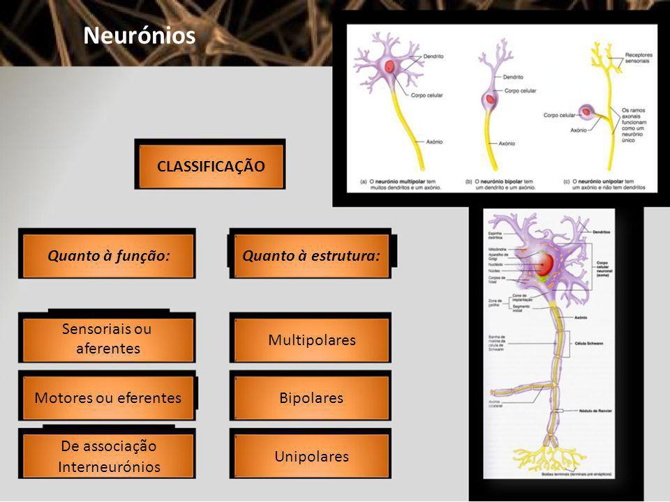 Neurónios CLASSIFICAÇÃO Quanto à função: Sensoriais ou aferentes Motores ou eferentes De associação Interneurónios Quanto à estrutura: Multipolares Bi