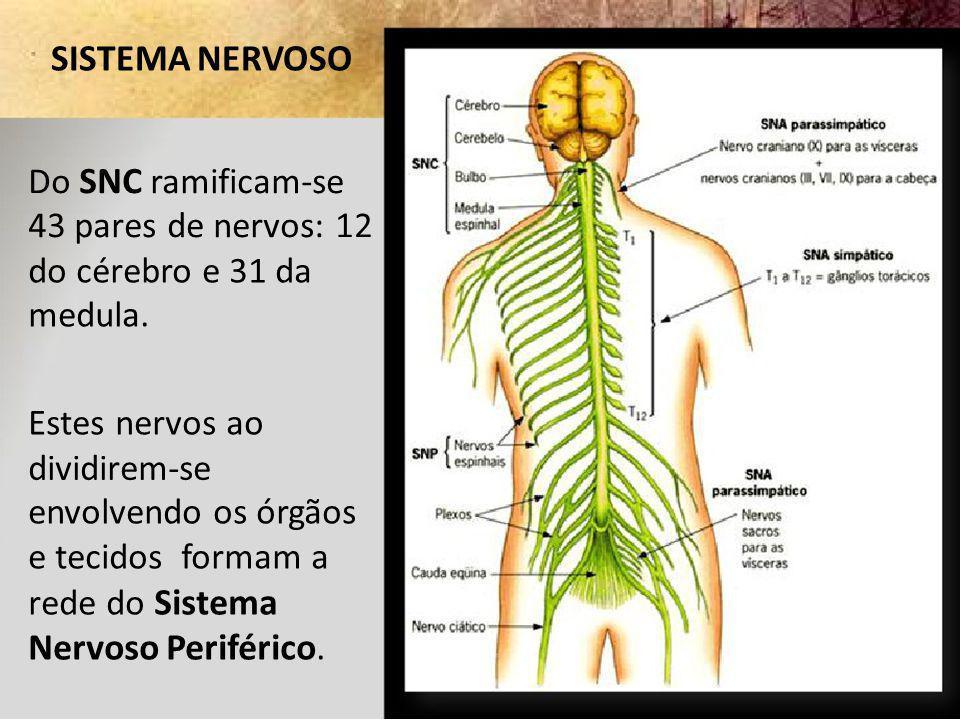 SISTEMA NERVOSO Do SNC ramificam-se 43 pares de nervos: 12 do cérebro e 31 da medula. Estes nervos ao dividirem-se envolvendo os órgãos e tecidos form
