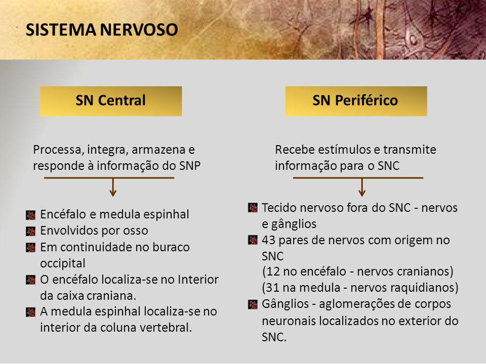 SISTEMA NERVOSO SN Central Processa, integra, armazena e responde à informação do SNP Encéfalo e medula espinhal Envolvidos por osso Em continuidade n