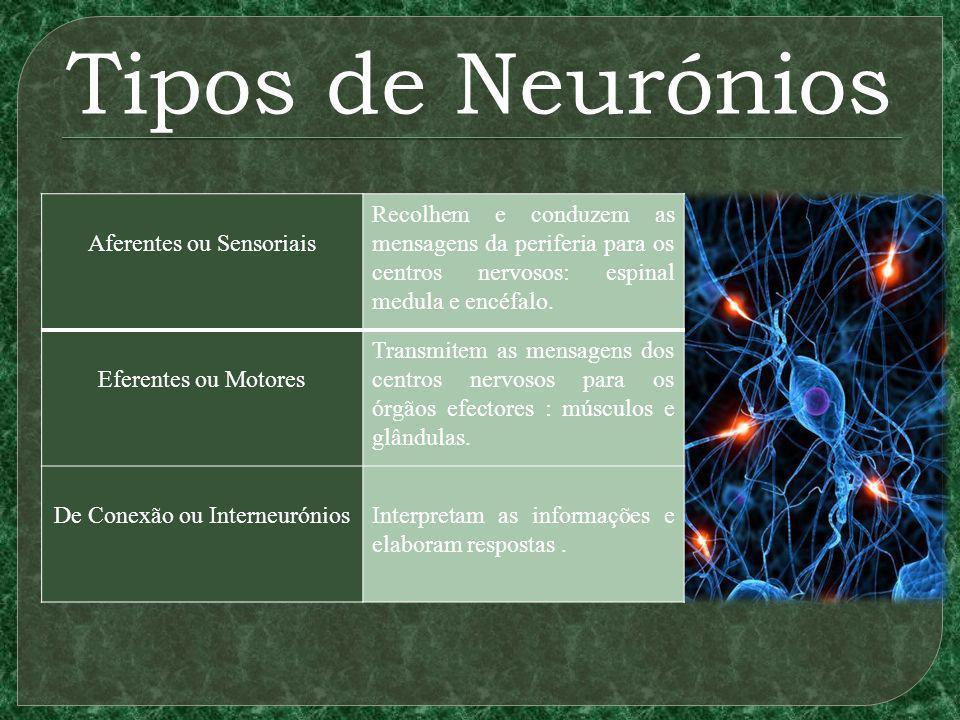 Tipos de Neurónios Aferentes ou Sensoriais Recolhem e conduzem as mensagens da periferia para os centros nervosos: espinal medula e encéfalo.