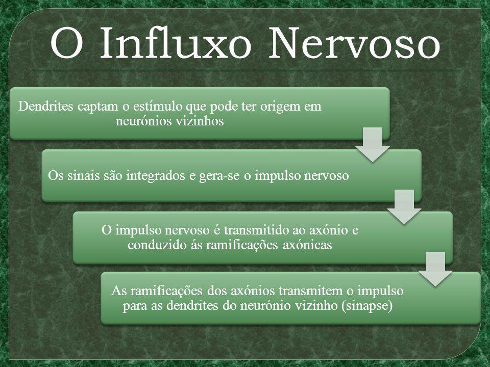 O Influxo Nervoso Dendrites captam o estímulo que pode ter origem em neurónios vizinhos Os sinais são integrados e gera-se o impulso nervoso O impulso