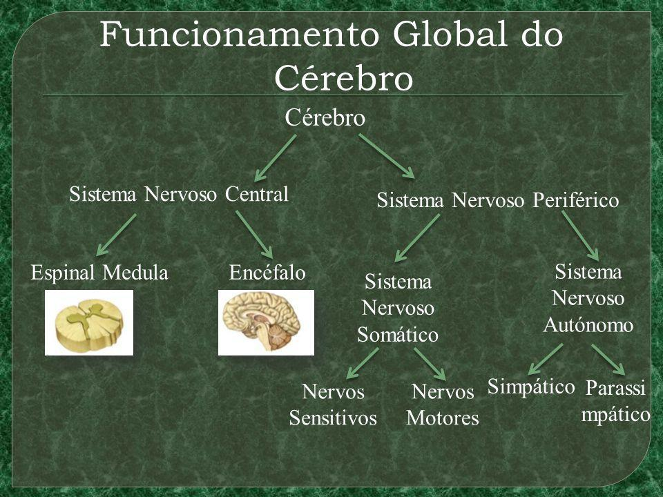 Funcionamento Global do Cérebro Cérebro Sistema Nervoso Autónomo Sistema Nervoso Periférico Sistema Nervoso Central Espinal MedulaEncéfalo Sistema Nervoso Somático Nervos Sensitivos Nervos Motores Simpático Parassi mpático
