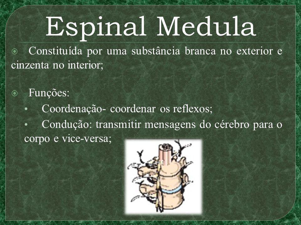 Espinal Medula Constituída por uma substância branca no exterior e cinzenta no interior; Funções: Coordenação- coordenar os reflexos; Condução: transmitir mensagens do cérebro para o corpo e vice-versa;