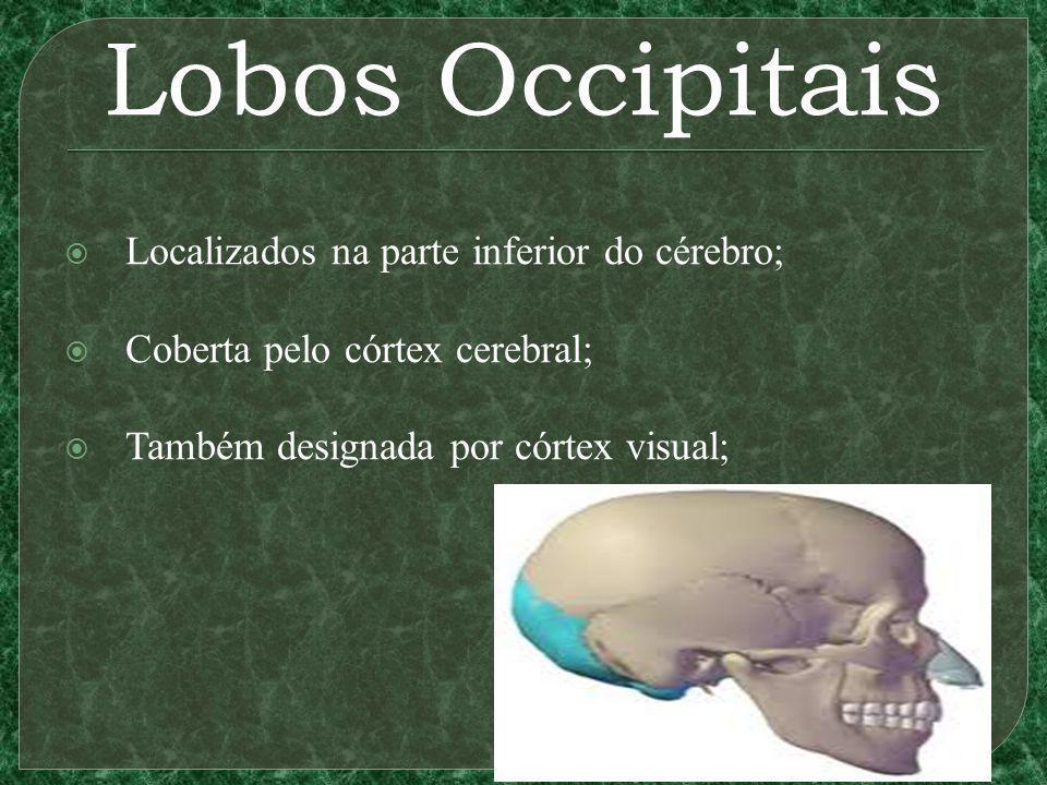 Lobos Occipitais Localizados na parte inferior do cérebro; Coberta pelo córtex cerebral; Também designada por córtex visual;