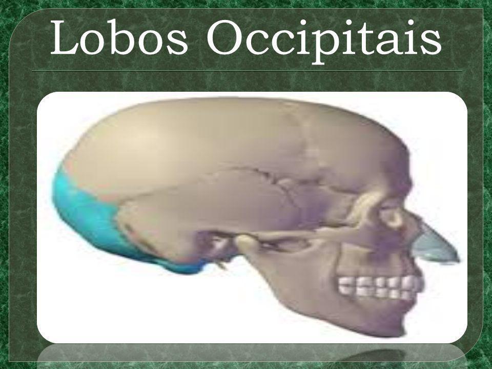 Lobos Occipitais