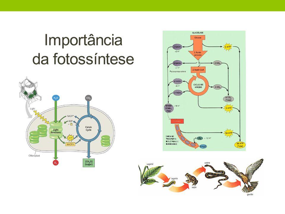 Utilização da fotossíntese transformação de CO 2 em O 2 produção de madeira produção de alimento (frutas, verduras, legumes)