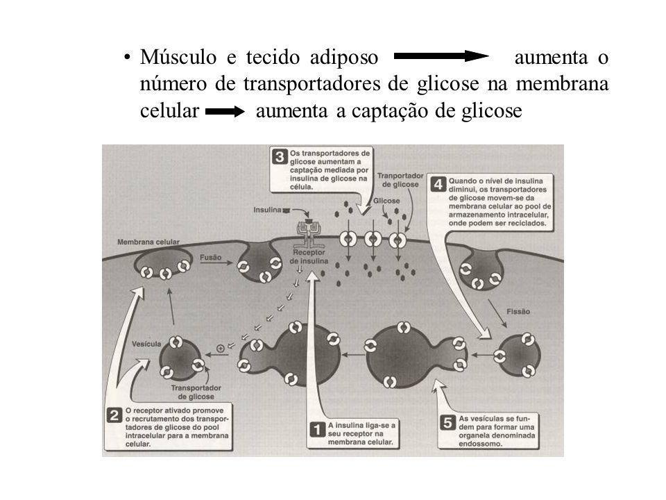 Diminuição da utilização e armazenamento de carboidratos Hiperglicemia Aumento da concentração plasmática de insulina Diabético não-insulino- dependente Células beta funcionalmente ativas Secreção de insulina Regulação normal da glicose