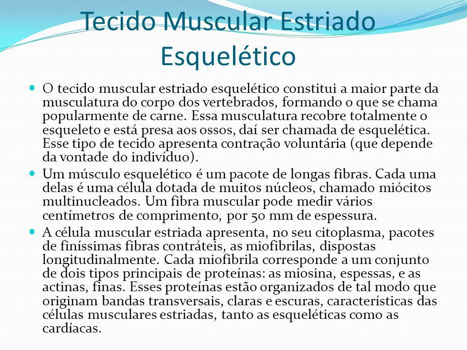 Tecido Muscular Estriado Esquelético O tecido muscular estriado esquelético constitui a maior parte da musculatura do corpo dos vertebrados, formando