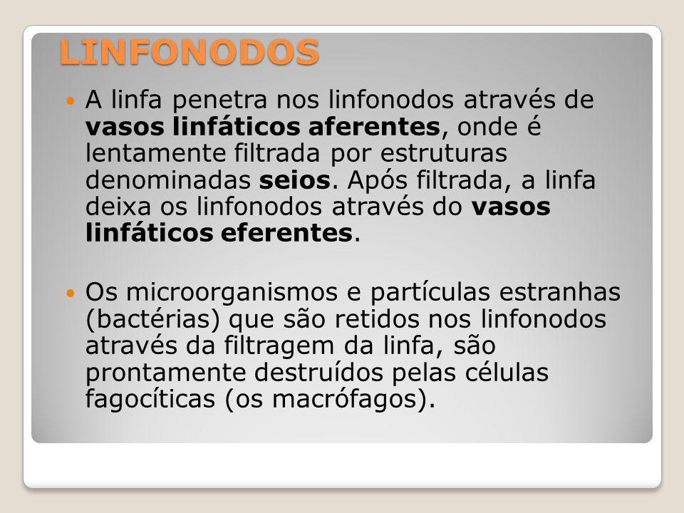 LINFONODOS A linfa penetra nos linfonodos através de vasos linfáticos aferentes, onde é lentamente filtrada por estruturas denominadas seios.