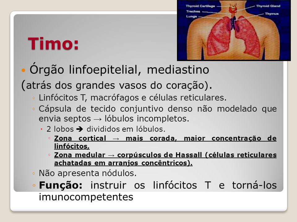 Timo: Órgão linfoepitelial, mediastino ( atrás dos grandes vasos do coração).