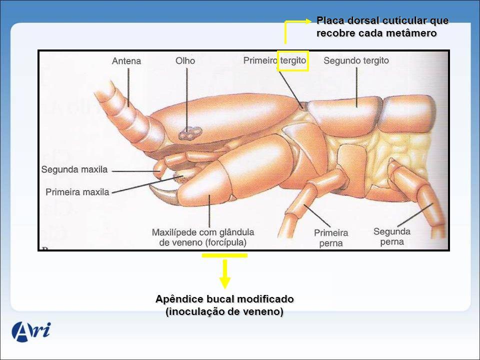 Apêndice bucal modificado (inoculação de veneno) Placa dorsal cuticular que recobre cada metâmero