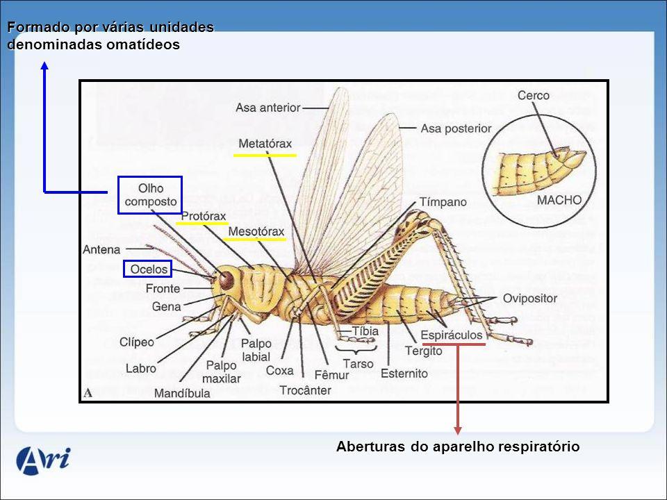 Aberturas do aparelho respiratório Formado por várias unidades denominadas omatídeos