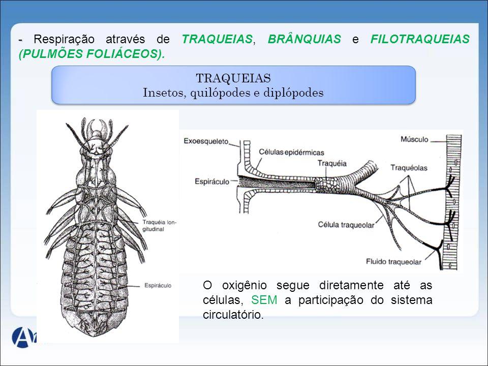 - - Respiração através de TRAQUEIAS, BRÂNQUIAS e FILOTRAQUEIAS (PULMÕES FOLIÁCEOS). TRAQUEIAS Insetos, quilópodes e diplópodes O oxigênio segue direta