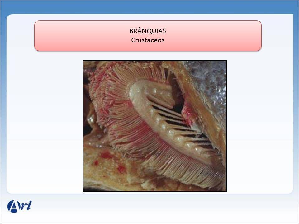 BRÂNQUIAS Crustáceos BRÂNQUIAS Crustáceos