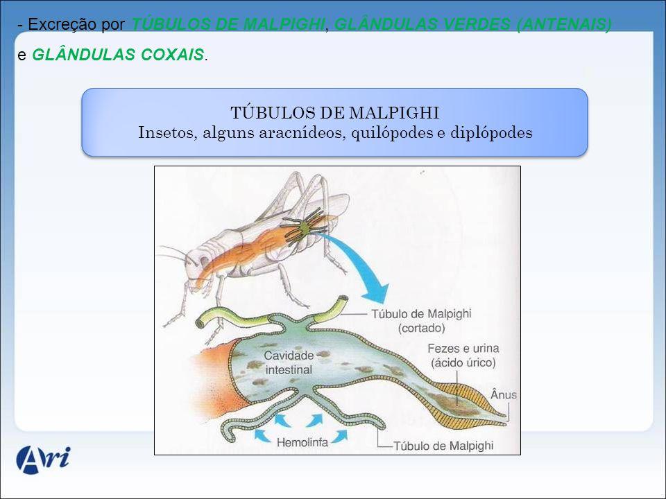 - Excreção por TÚBULOS DE MALPIGHI, GLÂNDULAS VERDES (ANTENAIS) e GLÂNDULAS COXAIS. TÚBULOS DE MALPIGHI Insetos, alguns aracnídeos, quilópodes e dipló