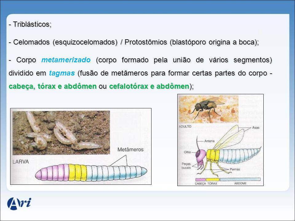 - Triblásticos; - Celomados (esquizocelomados) / Protostômios (blastóporo origina a boca); - Corpo (corpo formado pela união de vários segmentos) divi