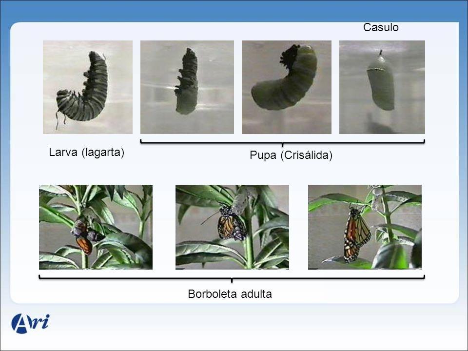 Larva (lagarta) Pupa (Crisálida) Casulo Borboleta adulta