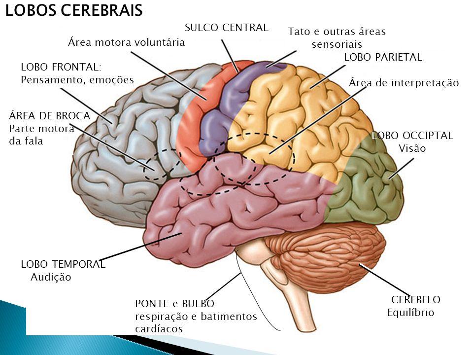 LOBOS CEREBRAIS LOBO FRONTAL: Pensamento, emoções ÁREA DE BROCA Parte motora da fala Área motora voluntária SULCO CENTRAL Tato e outras áreas sensoriais LOBO PARIETAL Área de interpretação LOBO OCCIPTAL Visão CEREBELO Equilíbrio PONTE e BULBO respiração e batimentos cardíacos LOBO TEMPORAL Audição