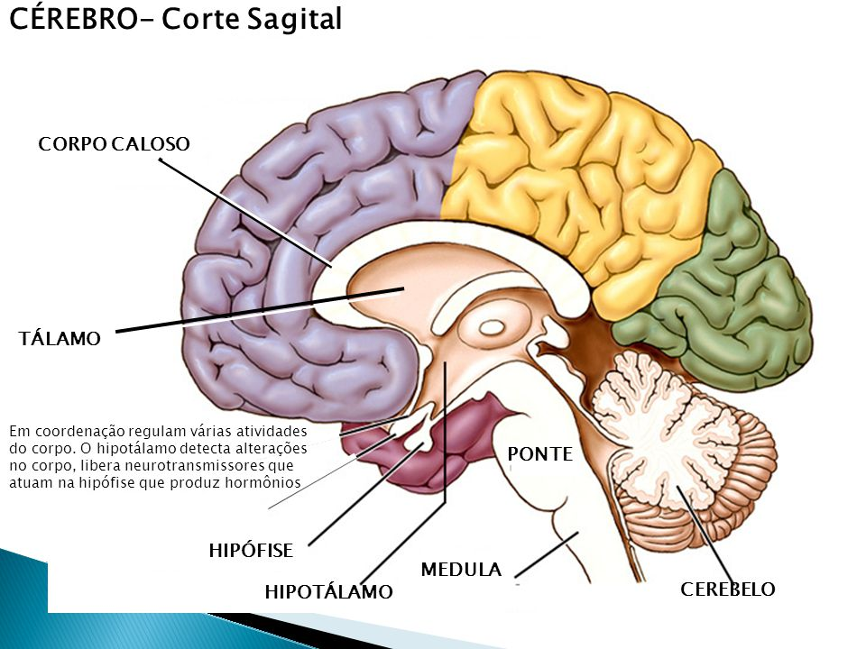 CÉREBRO- Corte Sagital CORPO CALOSO HIPÓFISE HIPOTÁLAMO TÁLAMO PONTE MEDULA CEREBELO Em coordenação regulam várias atividades do corpo.