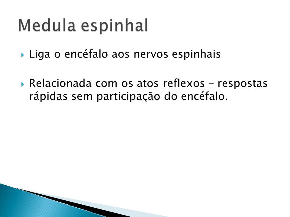 Liga o encéfalo aos nervos espinhais Relacionada com os atos reflexos – respostas rápidas sem participação do encéfalo.