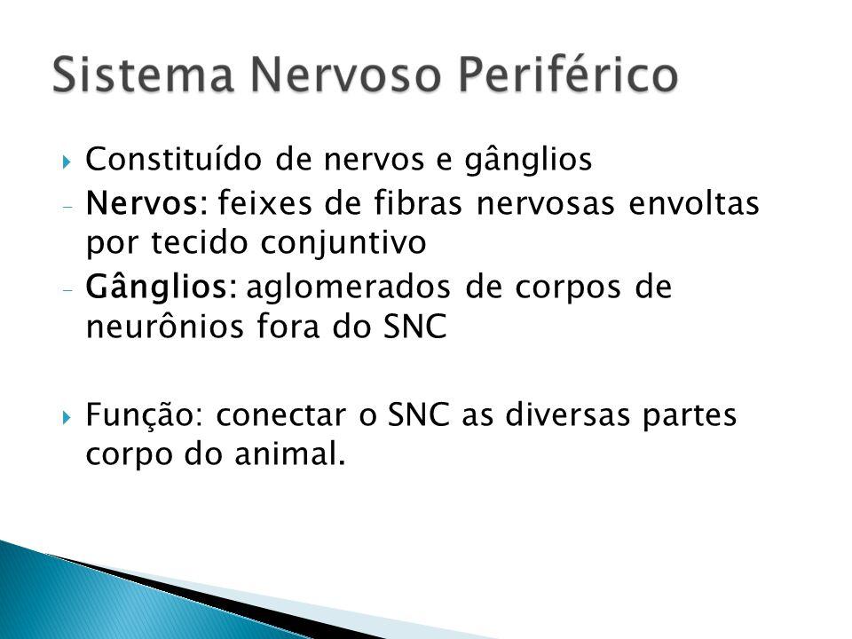 Constituído de nervos e gânglios - Nervos: feixes de fibras nervosas envoltas por tecido conjuntivo - Gânglios: aglomerados de corpos de neurônios for