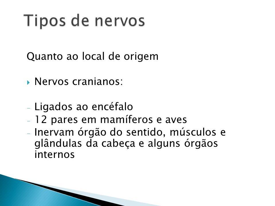 Quanto ao local de origem Nervos cranianos: - Ligados ao encéfalo - 12 pares em mamíferos e aves - Inervam órgão do sentido, músculos e glândulas da cabeça e alguns órgãos internos