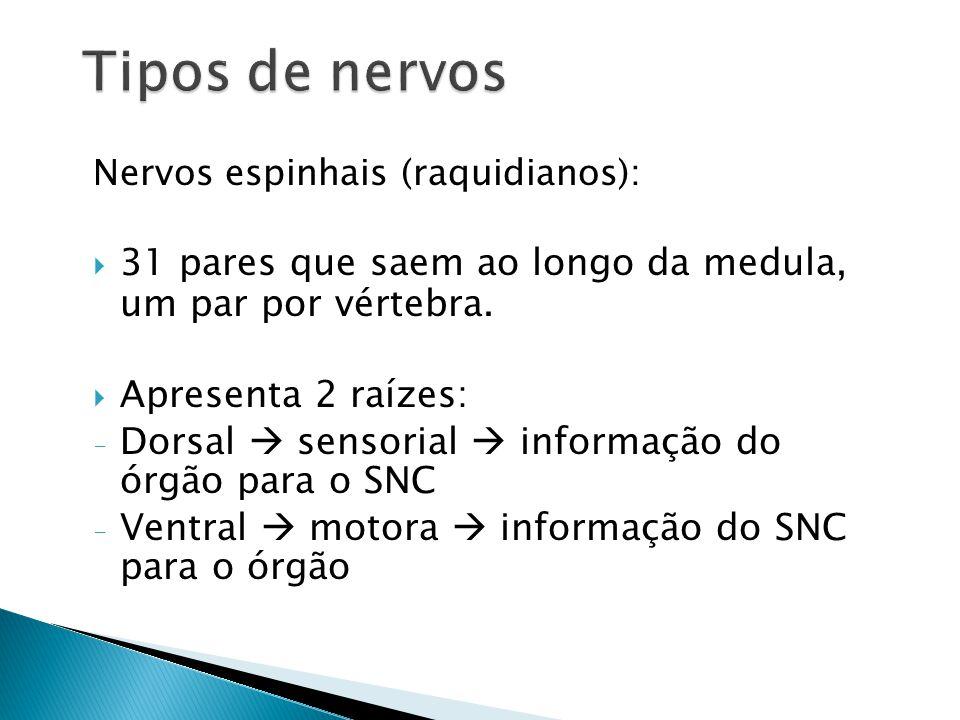 Nervos espinhais (raquidianos): 31 pares que saem ao longo da medula, um par por vértebra. Apresenta 2 raízes: - Dorsal sensorial informação do órgão
