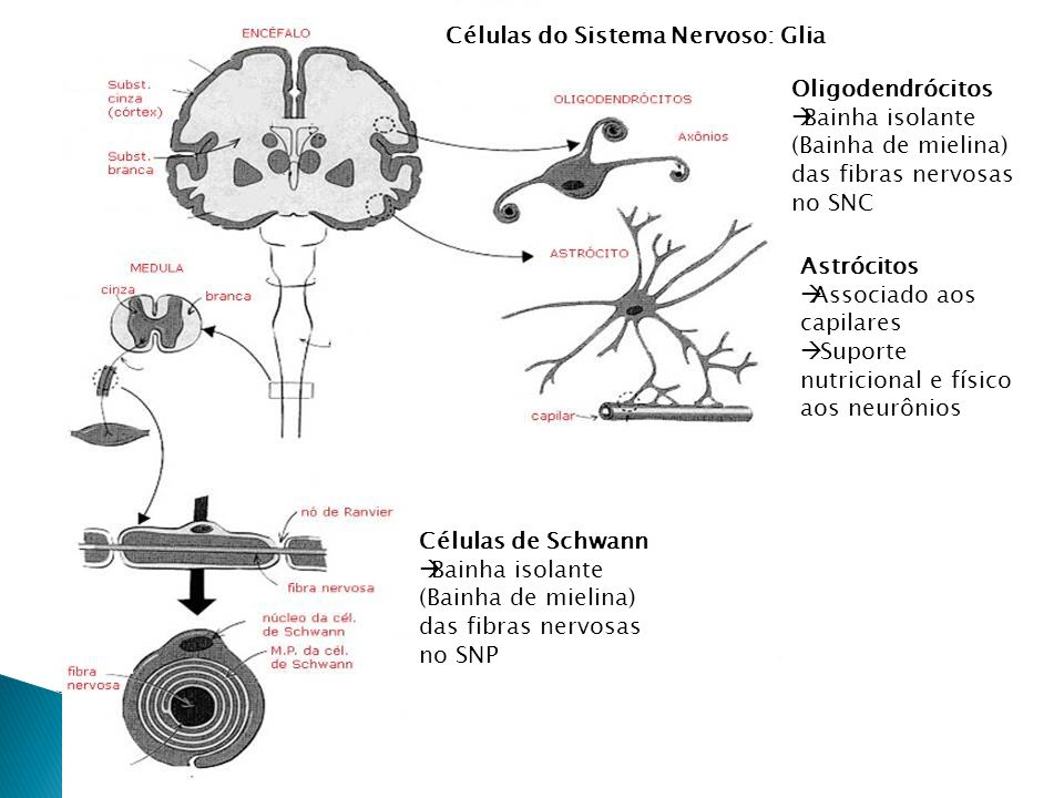 SNC Encéfalo Medula SNP Nervos Gânglios Periférico Autônomo Cérebro Cerebelo Mesencéfalo Ponte Bulbo