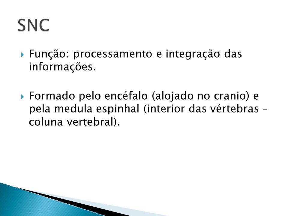 Função: processamento e integração das informações. Formado pelo encéfalo (alojado no cranio) e pela medula espinhal (interior das vértebras – coluna