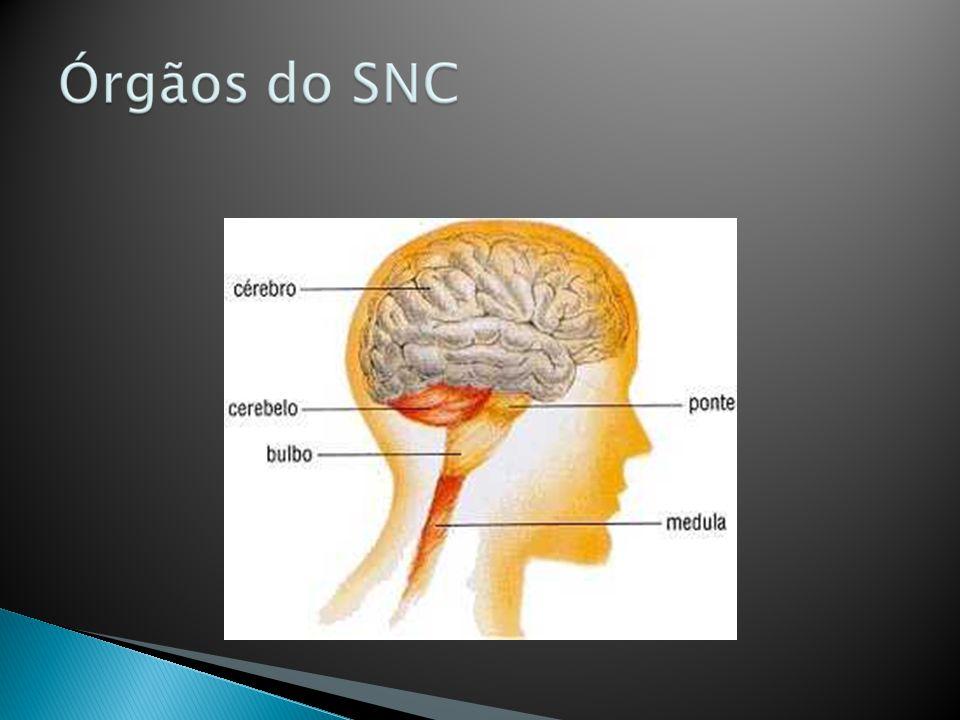 Constituído de nervos e gânglios - Nervos: feixes de fibras nervosas envoltas por tecido conjuntivo - Gânglios: aglomerados de corpos de neurônios fora do SNC Função: conectar o SNC as diversas partes corpo do animal.