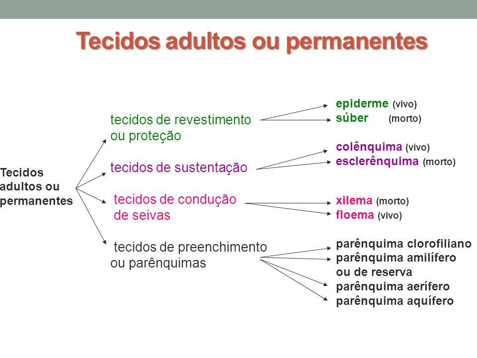 Tecidos adultos ou permanentes Tecidos adultos ou permanentes tecidos de revestimento ou proteção tecidos de sustentação tecidos de condução de seivas tecidos de preenchimento ou parênquimas epiderme (vivo) súber (morto) colênquima (vivo) esclerênquima (morto) xilema (morto) floema (vivo) parênquima clorofiliano parênquima amilífero ou de reserva parênquima aerífero parênquima aquífero