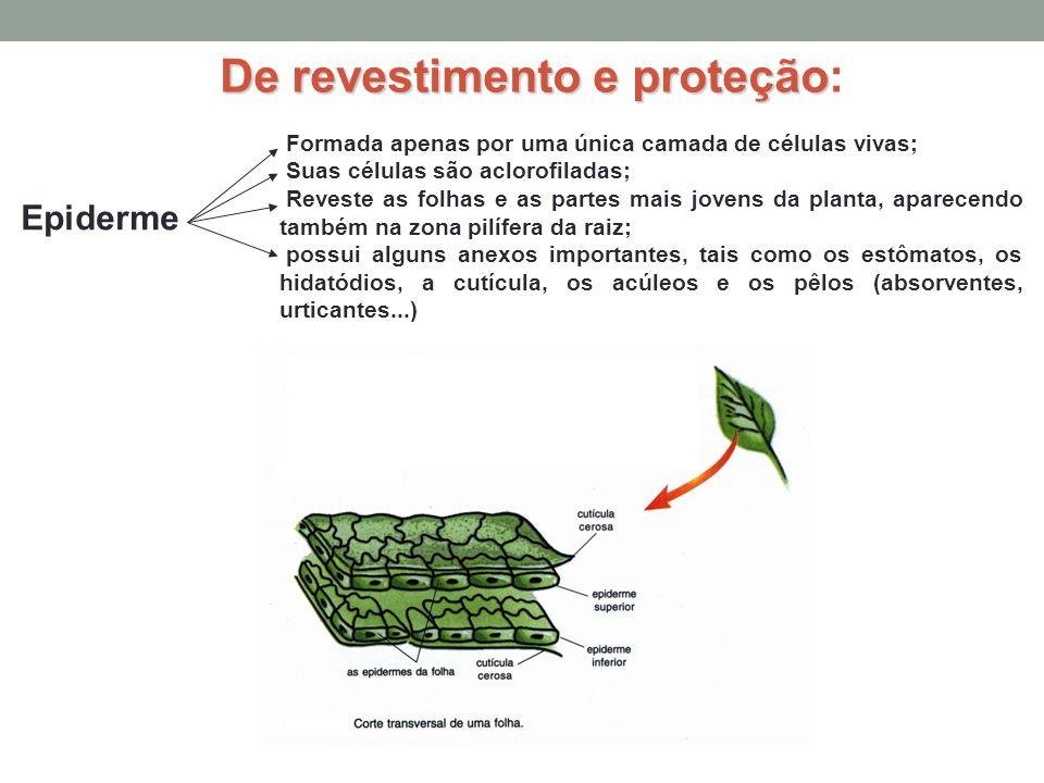De revestimento e proteção De revestimento e proteção: Epiderme Formada apenas por uma única camada de células vivas; Suas células são aclorofiladas;