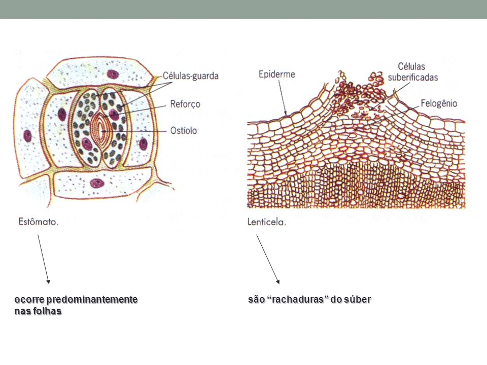 ocorre predominantemente nas folhas são rachaduras do súber