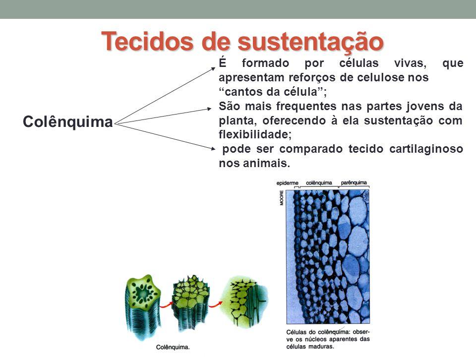 Tecidos de sustentação Colênquima É formado por células vivas, que apresentam reforços de celulose nos cantos da célula; São mais frequentes nas partes jovens da planta, oferecendo à ela sustentação com flexibilidade; pode ser comparado tecido cartilaginoso nos animais.