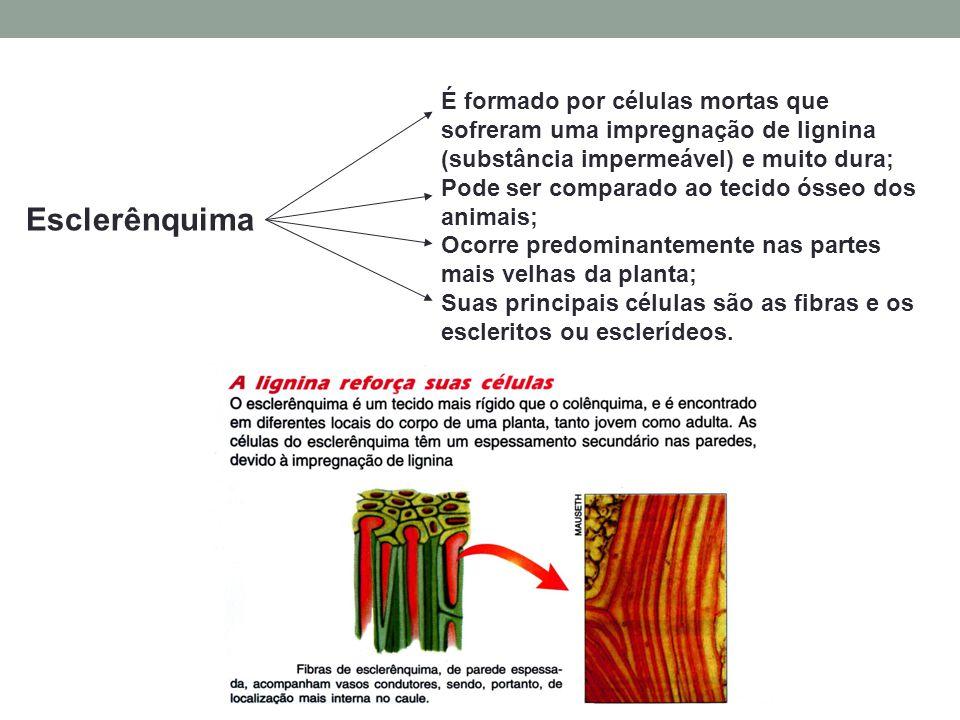 Esclerênquima É formado por células mortas que sofreram uma impregnação de lignina (substância impermeável) e muito dura; Pode ser comparado ao tecido ósseo dos animais; Ocorre predominantemente nas partes mais velhas da planta; Suas principais células são as fibras e os escleritos ou esclerídeos.